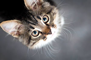 Picture Cats Eyes Gray background Snout Glance Animals