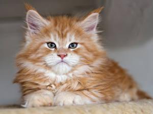 Bilder Katze Kätzchen Starren Fuchsrot Tiere