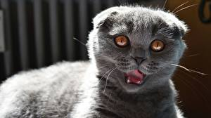 Fotos Katze Schottische Faltohrkatze Blick Graues Schnauze ein Tier