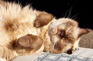 Bilder Katze Schläft Pfote Schnauze Tiere