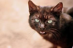 Fotos Hauskatze Schnurrhaare Vibrisse Schnauze Blick Tiere