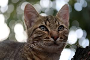 Hintergrundbilder Katze Schnurrhaare Vibrisse Schnauze Starren Kopf