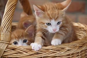 Hintergrundbilder Katze Weidenkorb Kätzchen Blick 2 Orange rot ein Tier