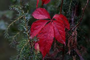 Photo Closeup Leaf Red