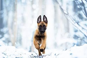 Hintergrundbilder Hund Laufsport Welpen Shepherd Malinois