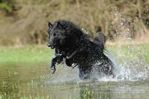 Fotos Hund Shepherd Spritzwasser Sprung Schwarz Belgischer Schäferhund ein Tier