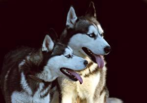 Fotos Hunde Schwarzer Hintergrund 2 Zunge Starren Siberian Husky Tiere