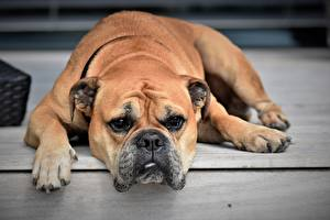 Bilder Hunde Bulldogge Pfote Schnauze Blick
