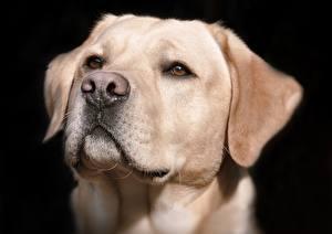 Hintergrundbilder Hund Großansicht Schwarz Schnauze Blick Kopf Nase Labrador Retriever