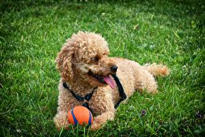 Bilder Hunde Pudel Ball Gras