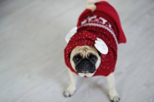 Fotos Hunde Mops (Hunderasse) Uniform Starren