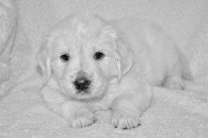 Bilder Hunde Welpe Retriever Weiß Schnauze Blick