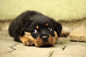 Hintergrundbilder Hunde Rottweiler Welpe Schnauze Blick Süße Tiere