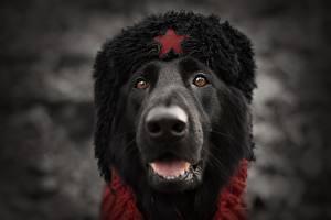 Bilder Hunde Schnauze Mütze Russische Kopf Tiere