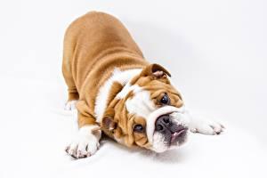 Bilder Hunde Weißer hintergrund Bulldogge Pfote Starren Tiere