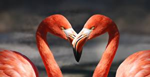 Hintergrundbilder Flamingos Vogel Hautnah 2 Schnabel