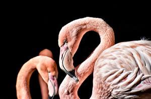 Bilder Flamingos Hautnah Schwarzer Hintergrund Schnabel Tiere