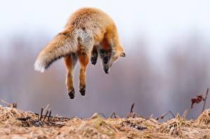 Bilder Füchse Sprung