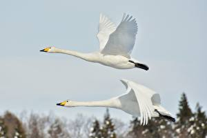 Images Geese Birds Two Flight White Animals