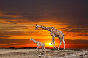 Images Giraffe Cubs Sunrise and sunset Two Animals