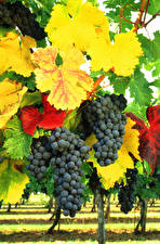 Wallpapers Grapes Branches Leaf Food