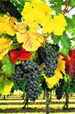 Bilder Weintraube Ast Blatt Lebensmittel