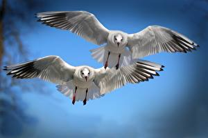 Photo Seagulls Birds Flight Two Wings Animals