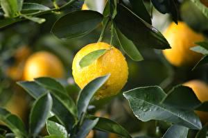 Fotos Zitrone Tropfen Blatt Gelb