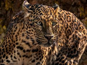 Pictures Leopards Snout Glance