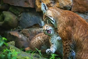 Bilder Luchse Jungtiere 2 Tiere