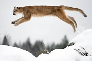 Hintergrundbilder Pumas Schnee Sprung Tiere