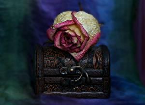 Bilder Rose Nahaufnahme Blütenblätter Tropfen Schatztruhe