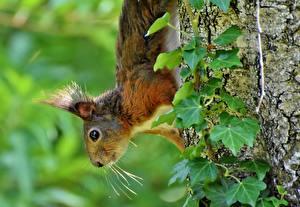 Bilder Eichhörnchen Baumstamm Blick Schnurrhaare Vibrisse