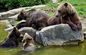 Fotos Steine Bären Braunbär Tiere