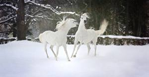 Fotos Winter Hauspferd Schnee 2 Weiß Tiere