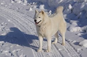 Hintergrundbilder Winter Straße Hunde Schnee Siberian Husky Weiß