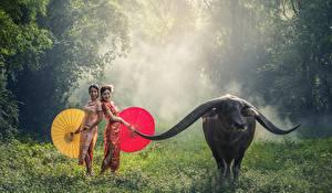 Fotos Asiatische Rinder Gras Nebel Regenschirm Horn Tiere Mädchens