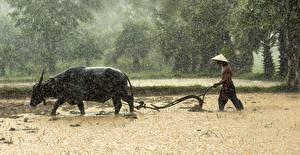 Hintergrundbilder Asiaten Regen Mann Stier Felder Der Hut Arbeiten ein Tier