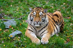 Bilder Herbst Stein Tiger Gras Pfote Starren