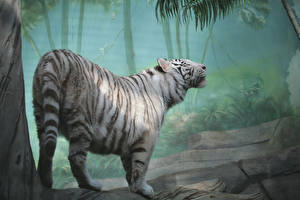 Pictures Big cats Tigers White