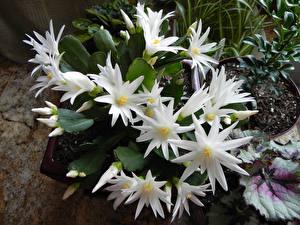 Fotos Kakteen Nahaufnahme Weiß Blüte