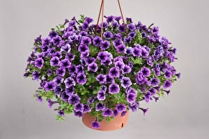 Photo Calibrachoa Many Gray background Violet Flowers