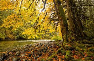 Bilder Kanada Park Flusse Herbst Steine Baumstamm Laubmoose Blattwerk Vancouver Island Parks