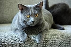 Bilder Hauskatze Grau Pfote Blick Cartesian cat (Chartreuse) ein Tier