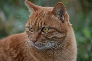 Fotos Katze Hautnah Fuchsrot Schnurrhaare Vibrisse Blick Schnauze Tiere