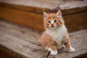 Hintergrundbilder Katze Katzenjunges Fuchsrot ein Tier