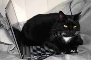 Bilder Hauskatze Notebook Schwarz Schnurrhaare Vibrisse Blick ein Tier