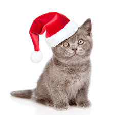 Bilder Neujahr Hauskatze Weißer hintergrund Kätzchen Mütze Starren