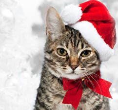 Photo Christmas Cats Winter hat Glance Snout Bow knot animal