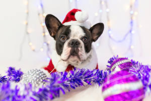 Images Christmas Dog French Bulldog Winter hat Snout